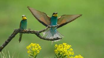 bee-eater-display.jpg